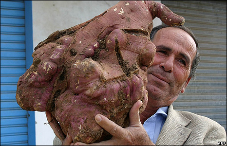 Giant Lebanese potato